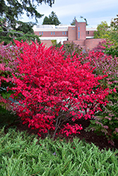 Compact Winged Burning Bush (Euonymus alatus 'Compactus') at Plumline Nursery