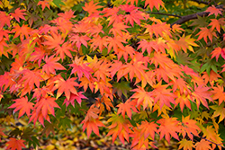 Japanese Maple (Acer palmatum) at Plumline Nursery