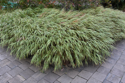 White Striped Hakone Grass (Hakonechloa macra 'Albo Striata') at Plumline Nursery