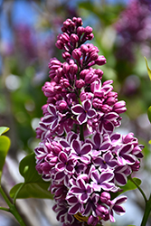 Sensation Lilac (Syringa vulgaris 'Sensation') at Plumline Nursery