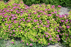 Double Play® Gold Spirea (Spiraea japonica 'Yan') at Plumline Nursery