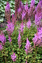 Purple Candles Astilbe (Astilbe chinensis 'Purple Candles') at Plumline Nursery