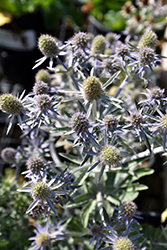 Blue Hobbit Sea Holly (Eryngium planum 'Blue Hobbit') at Plumline Nursery