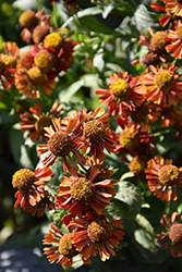 Ruby Tuesday Sneezeweed (Helenium 'Ruby Tuesday') at Plumline Nursery