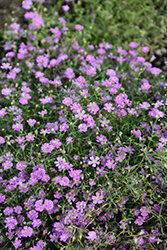 Pink Creeping Baby's Breath (Gypsophila repens 'Rosea') at Plumline Nursery
