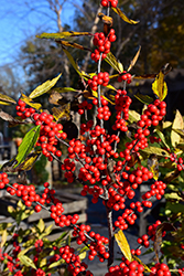 Winterberry (Ilex verticillata) at Plumline Nursery
