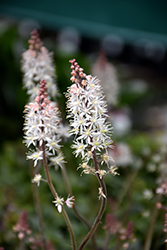 Pink Skyrocket Foamflower (Tiarella 'Pink Skyrocket') at Plumline Nursery