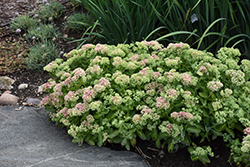 Autumn Delight Stonecrop (Sedum 'Autumn Delight') at Plumline Nursery