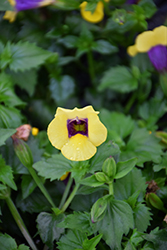 Catalina Gilded Grape Torenia (Torenia 'Catalina Gilded Grape') at Plumline Nursery